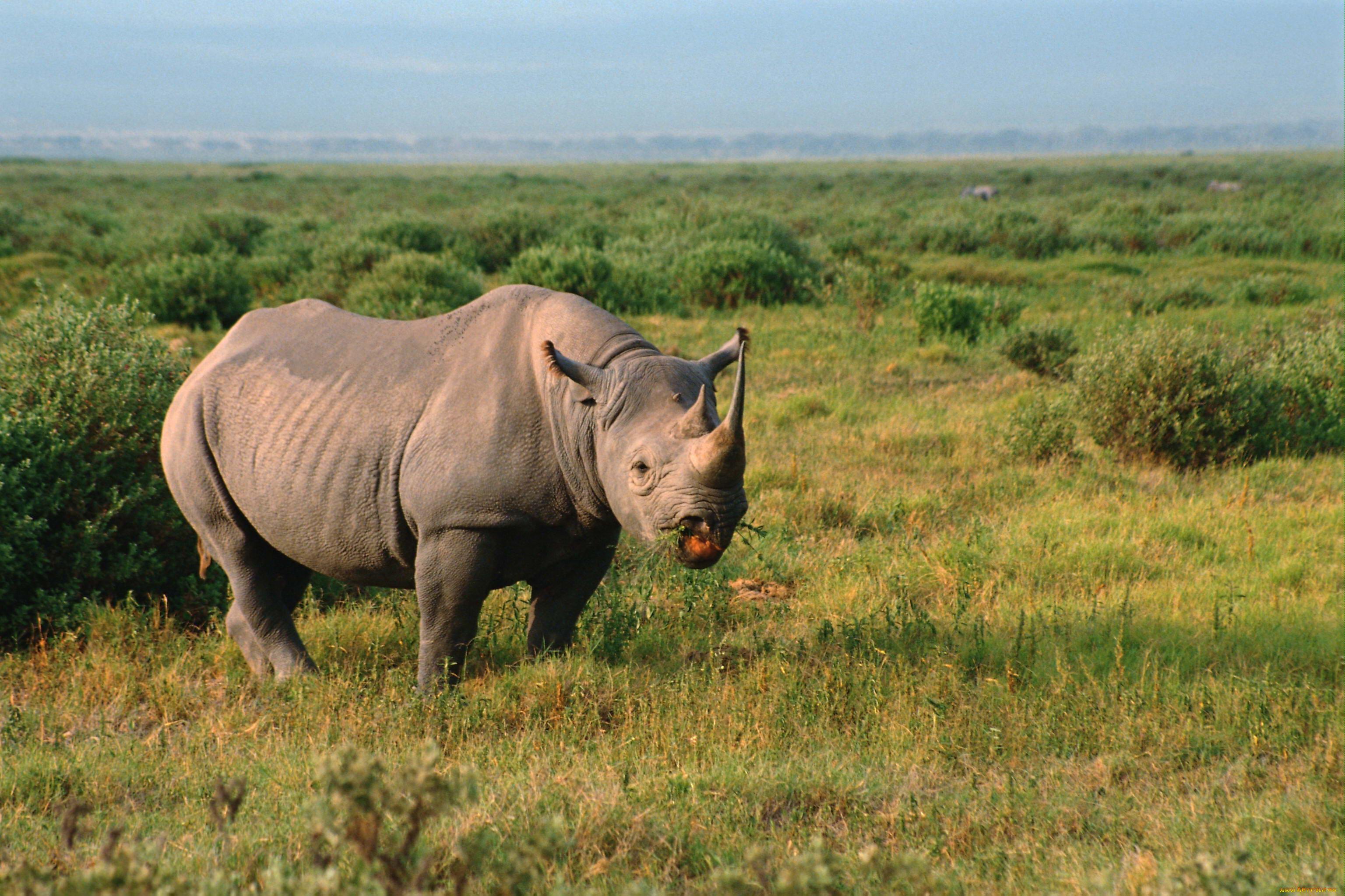 Обои носороги. Животные foto 6